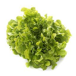 Salade FEUILLES DE CHÊNES BLONDE