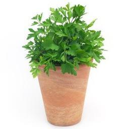 Persil plat, plante en pot